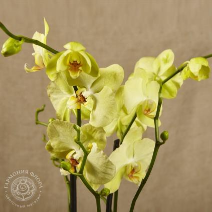 Орхидея лимонного цвета фото